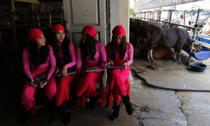 Sales girls are waiting for customers at a cow showroom in Depok, Indonesia. The cows are being sold for the Feast of Sacrifice, and the owners claim that the girls have increased sales dramatically over the last 3 years. Image by Beawiharta/Reuters